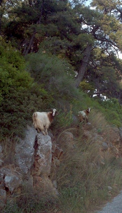 akyaka beautiful goats in national park